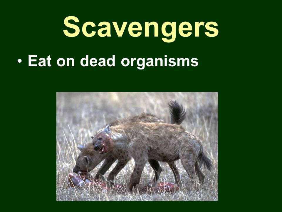 Scavengers Eat on dead organisms