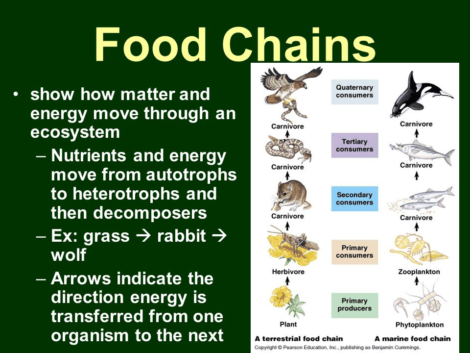 Food Chains show how matter and energy move through an ecosystem