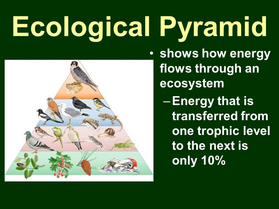 Ecological Pyramid shows how energy flows through an ecosystem