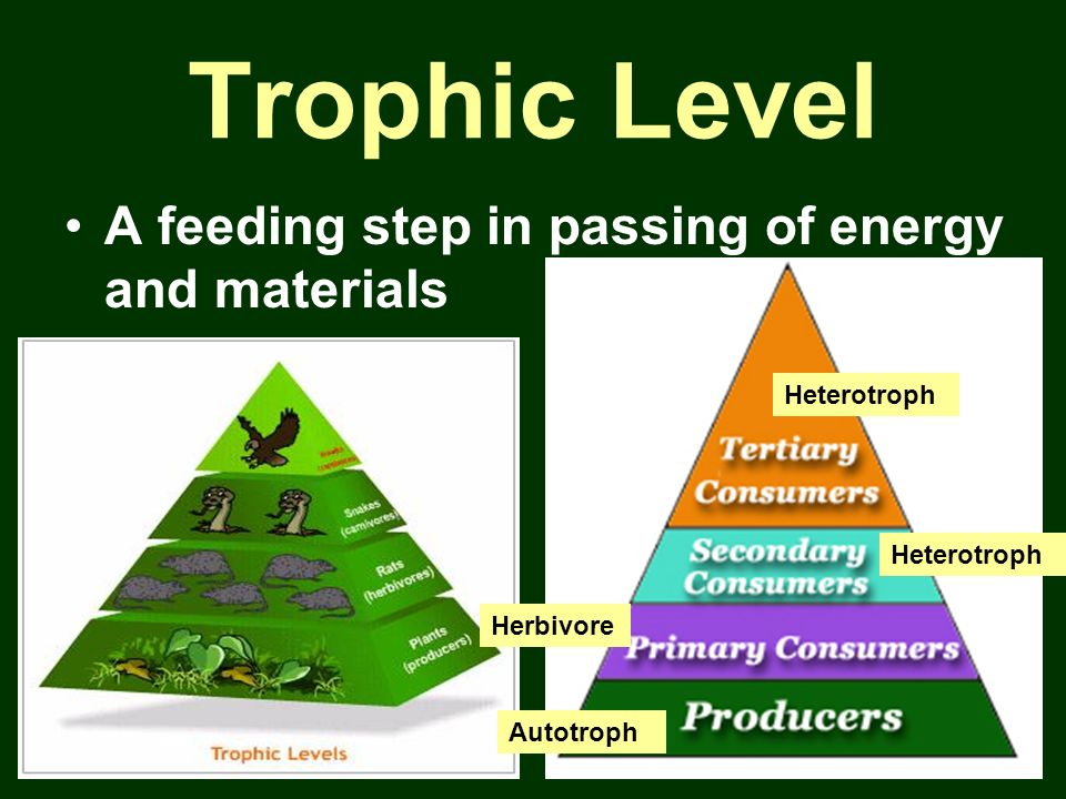 Trophic Level A feeding step in passing of energy and materials
