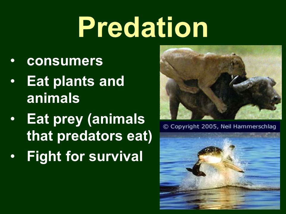 Predation consumers Eat plants and animals