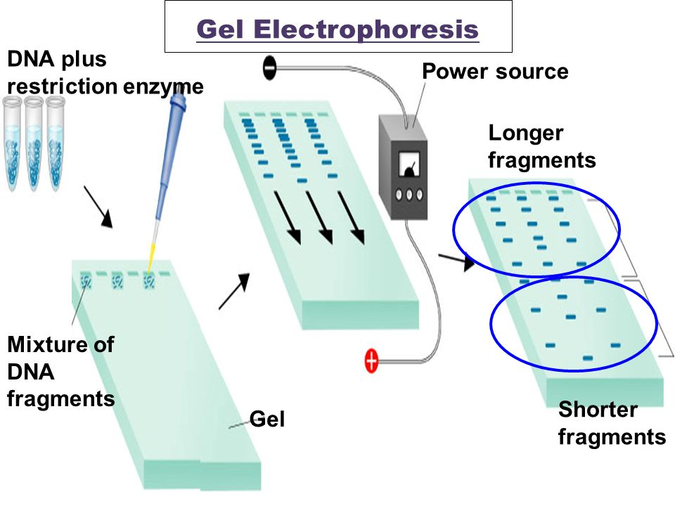 Dna fingerprinting gel electrophoresis restriction enzymes lab report