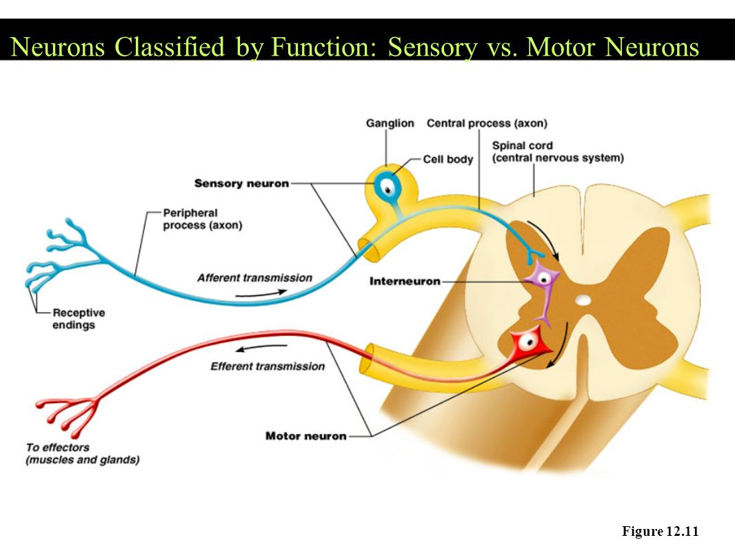 The nervous system communication ppt download for What is motor neuron