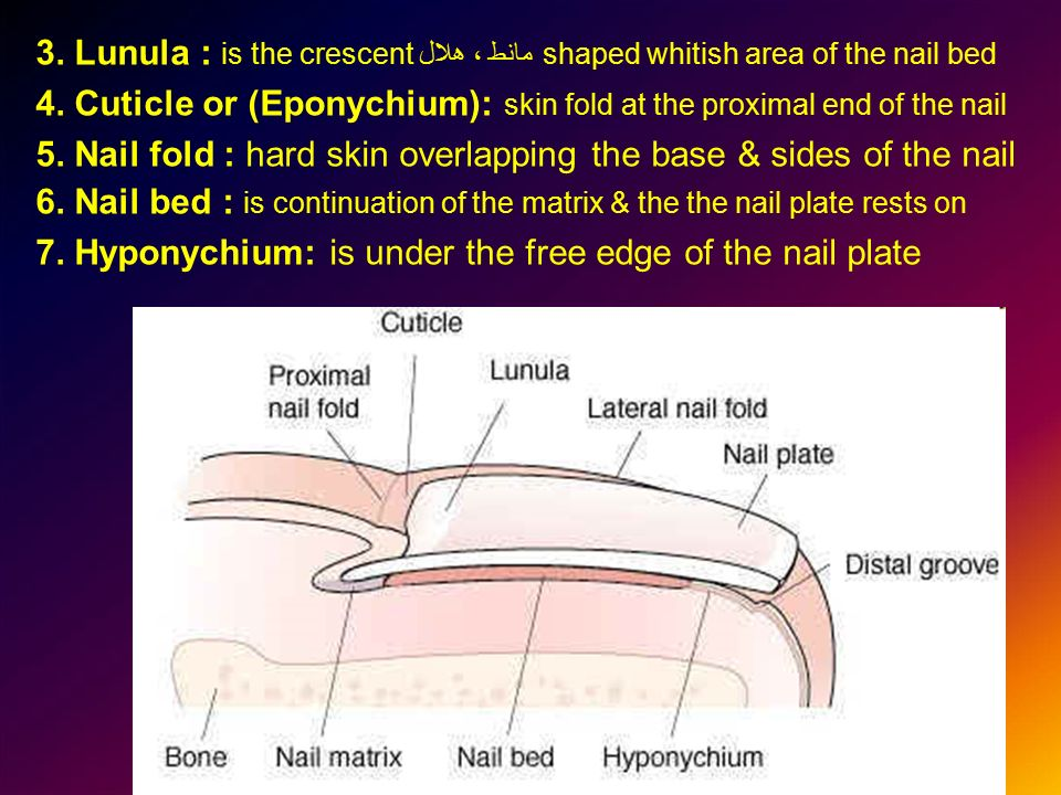 3. Lunula : is the crescent مانط ، هلالshaped whitish area of the nail bed 4.