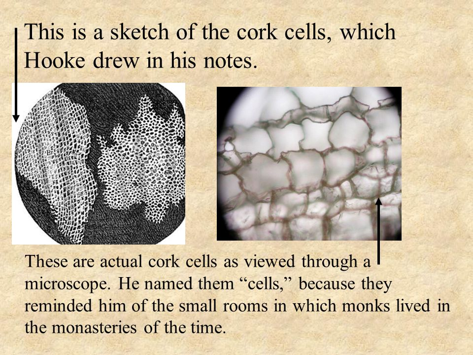 Microscopes Light Microscopes Have Been Around For About 350 Years Ppt Video Online Download