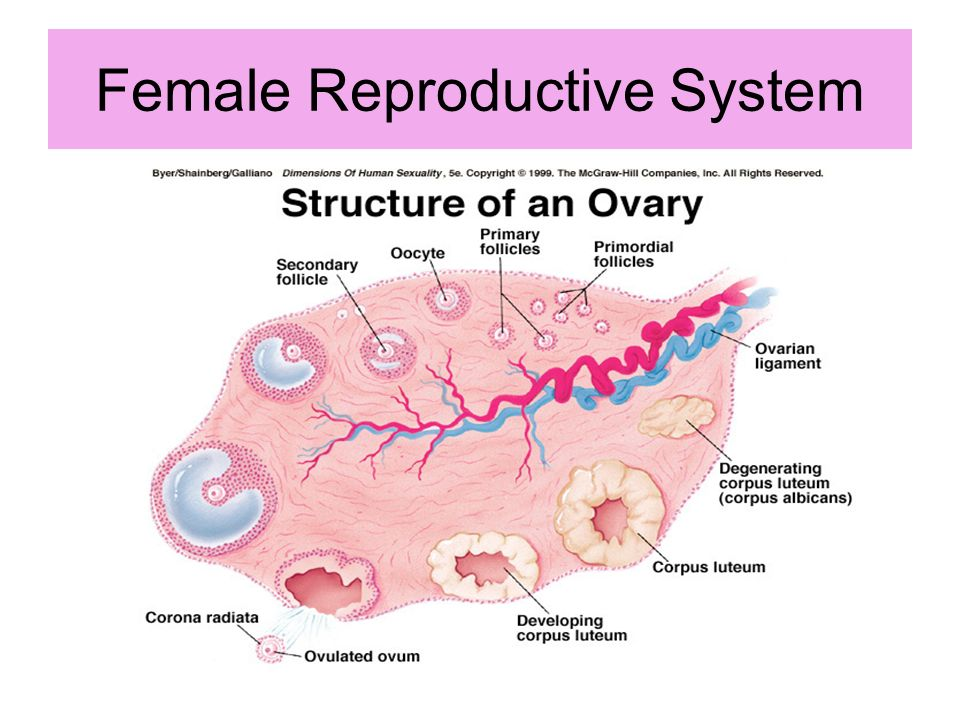 conclusion of reproductive system