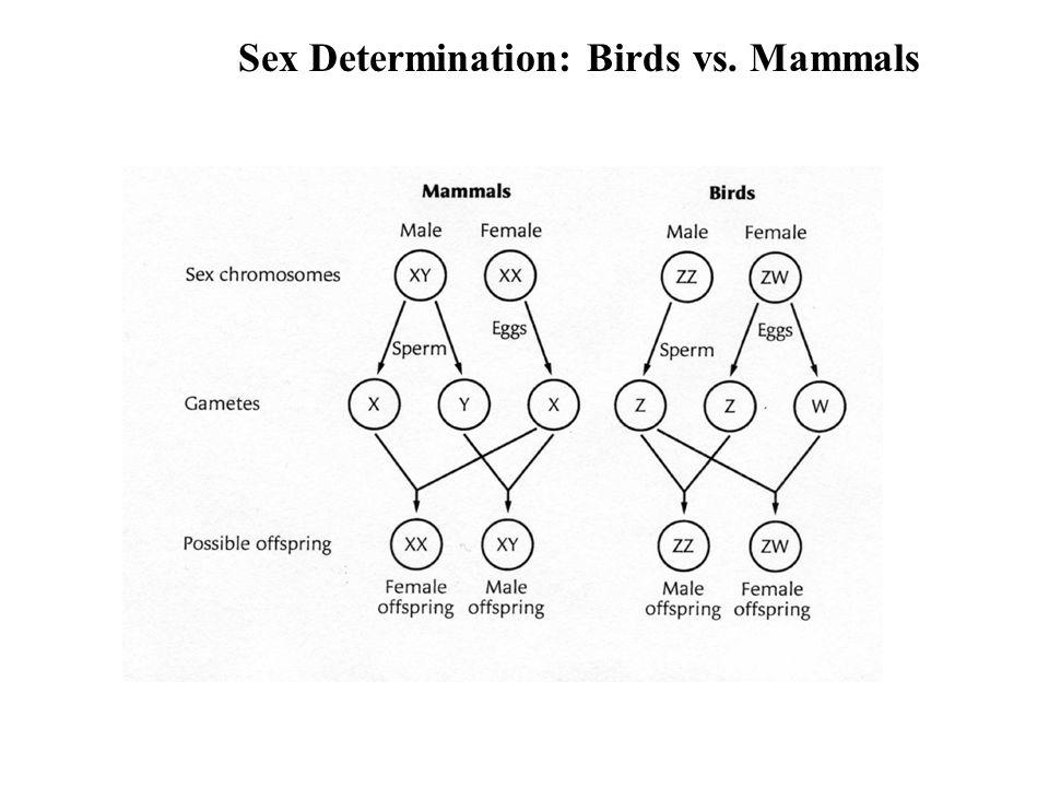 Sex Determination: Birds vs. Mammals