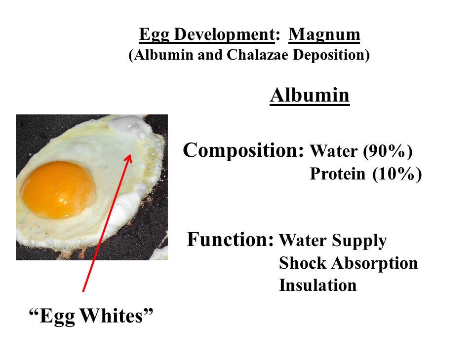 Egg Development: Magnum (Albumin and Chalazae Deposition)