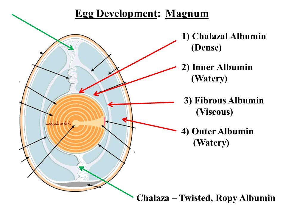 Egg Development: Magnum