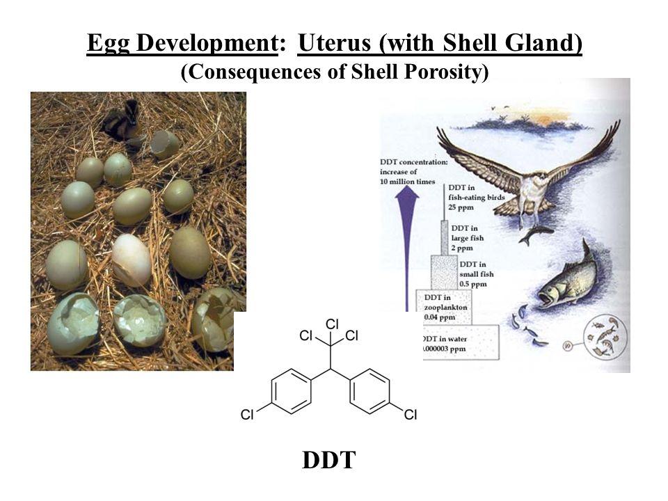 Egg Development: Uterus (with Shell Gland)