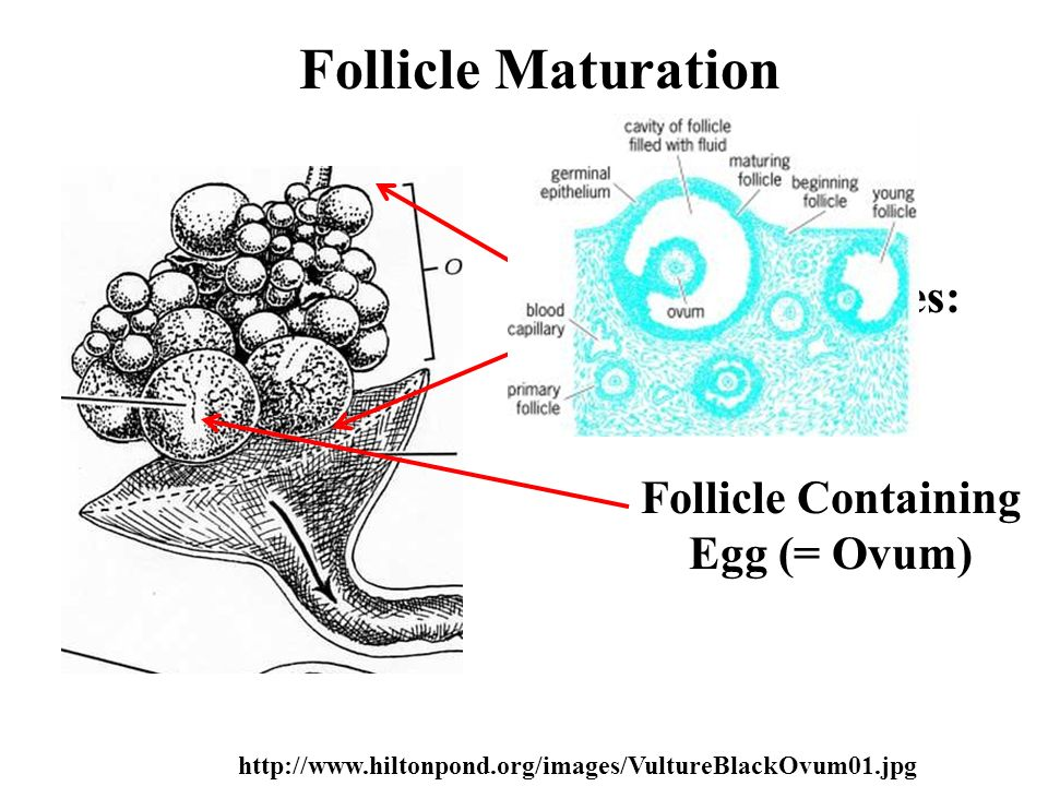 Follicle Maturation Primary Oocytes: 500 - 2000 Follicle Containing