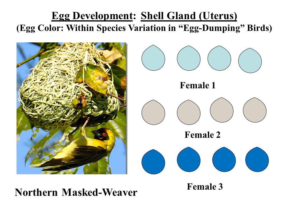 Egg Development: Shell Gland (Uterus)