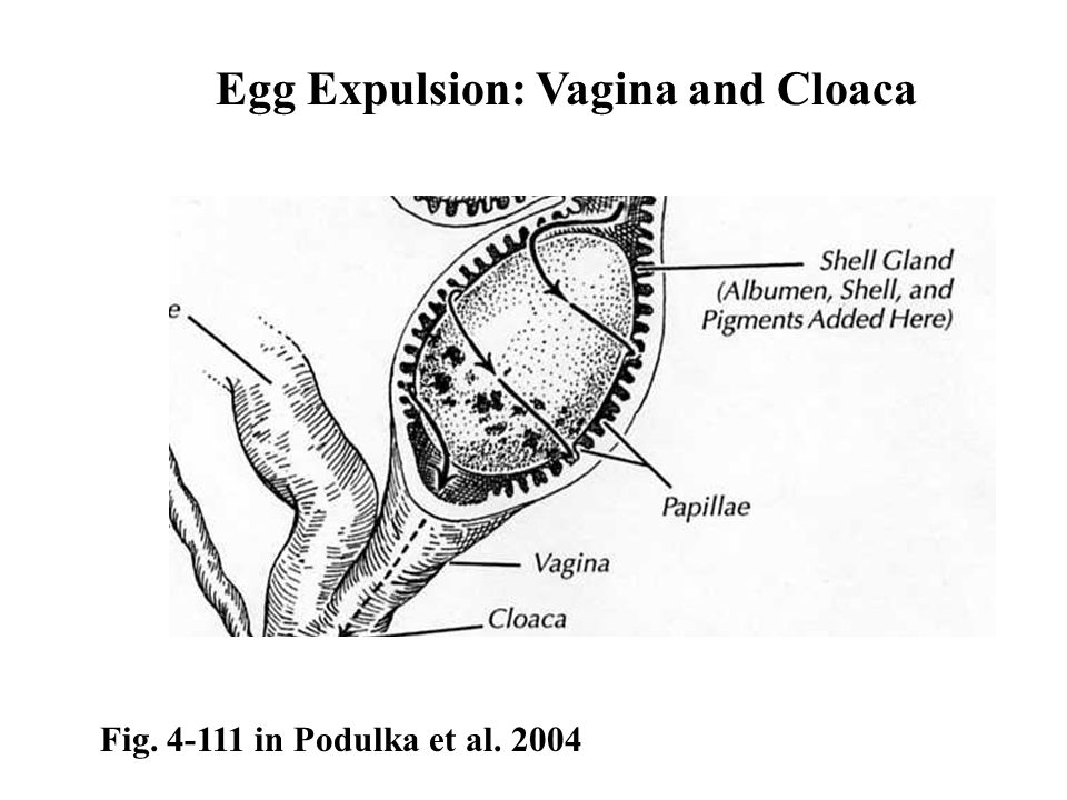 Egg Expulsion: Vagina and Cloaca
