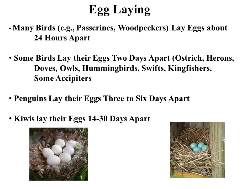 Egg Laying Many Birds (e.g., Passerines, Woodpeckers) Lay Eggs about. 24 Hours Apart. Some Birds Lay their Eggs Two Days Apart (Ostrich, Herons,
