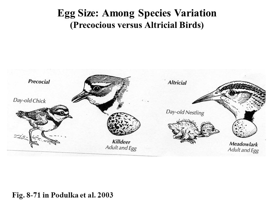 Egg Size: Among Species Variation (Precocious versus Altricial Birds)