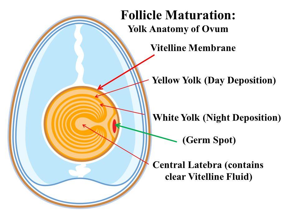 Follicle Maturation: Yolk Anatomy of Ovum Vitelline Membrane