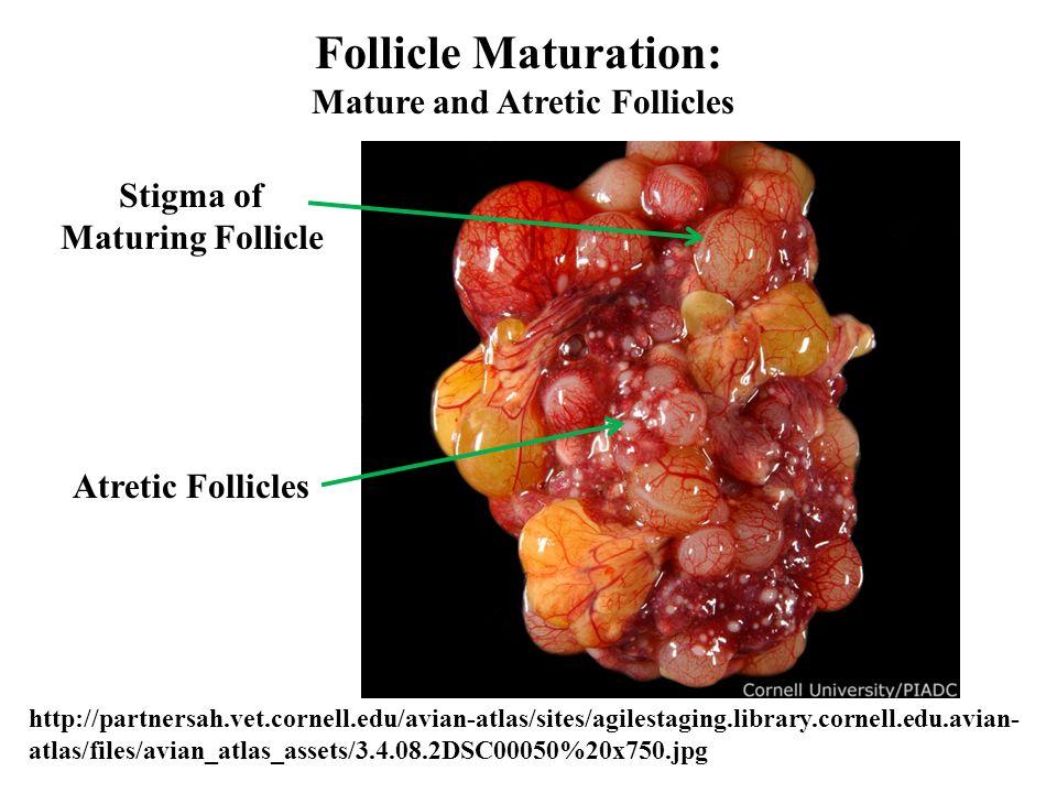 Mature and Atretic Follicles