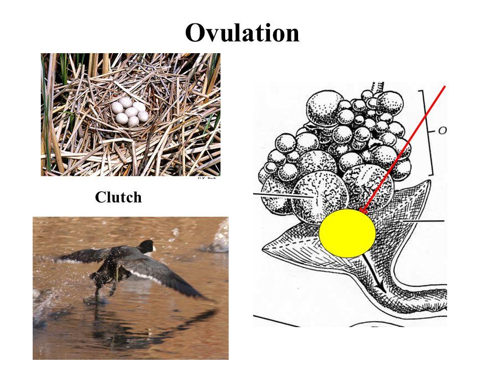 Ovulation Clutch