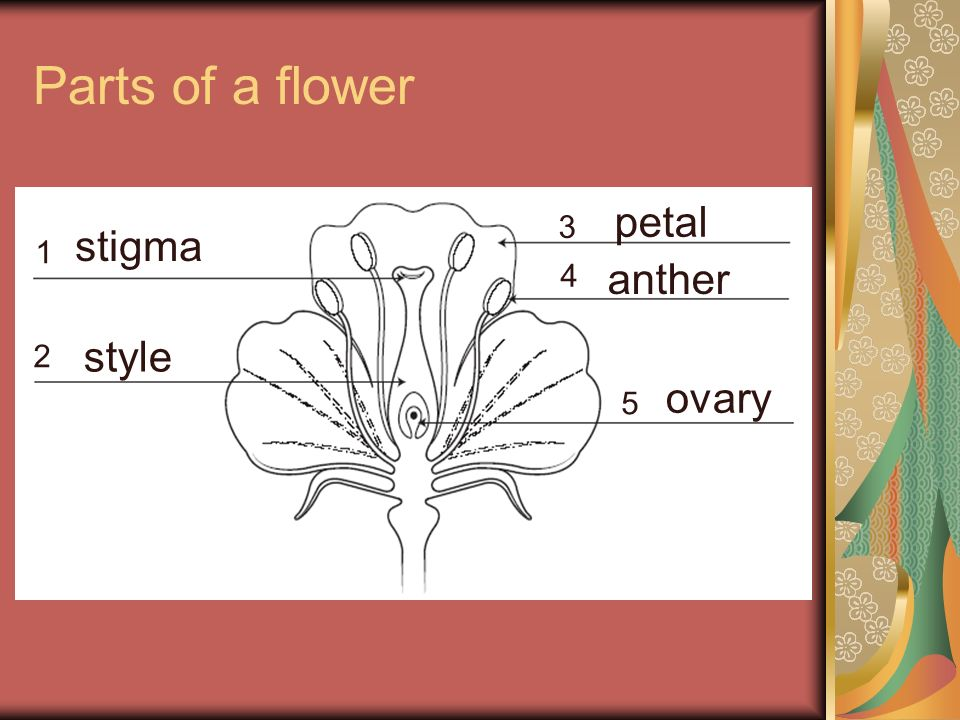 Parts of a flower petal 3 stigma 1 4 anther 2 style ovary 5