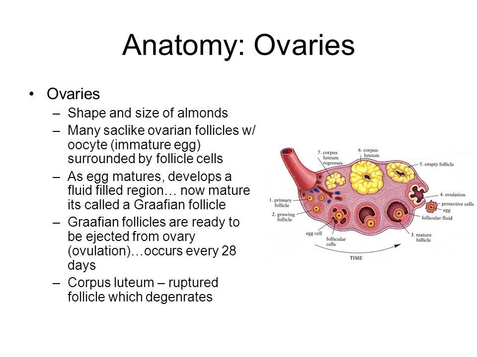 Ovulation - Wikipedia