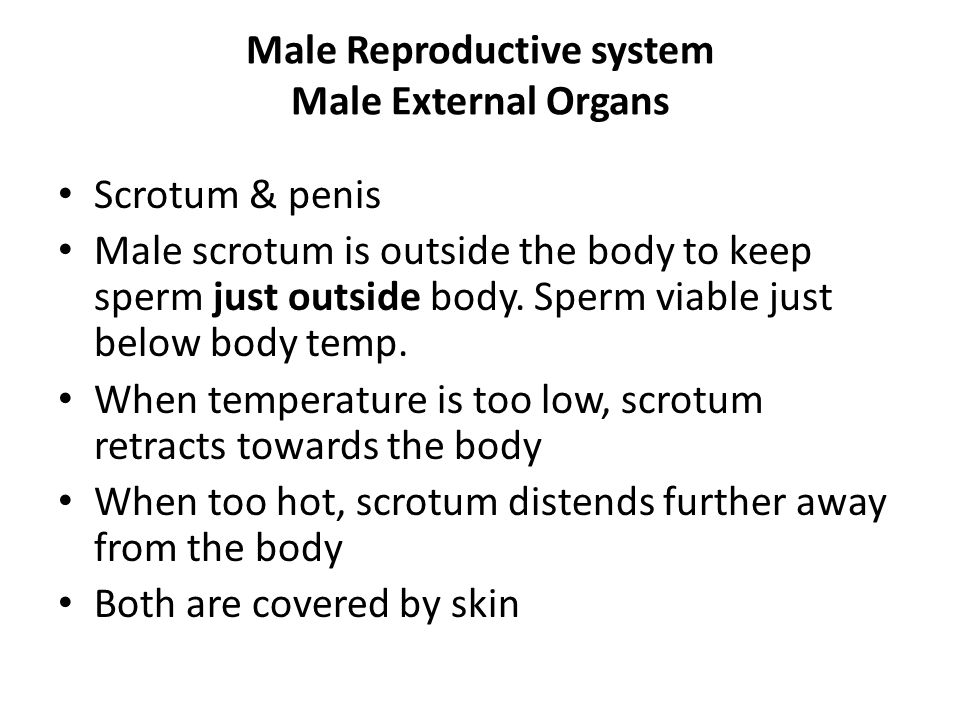 male and female reproductive systems - ppt download, Muscles