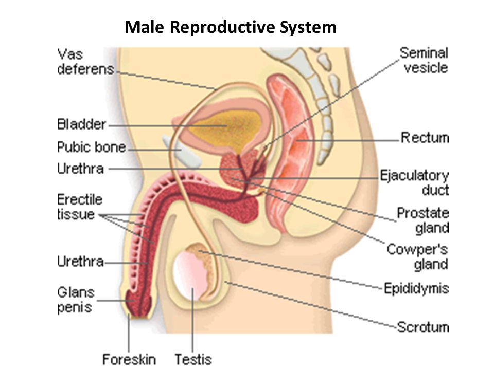 Male And Female Reproductive Systems Ppt Download