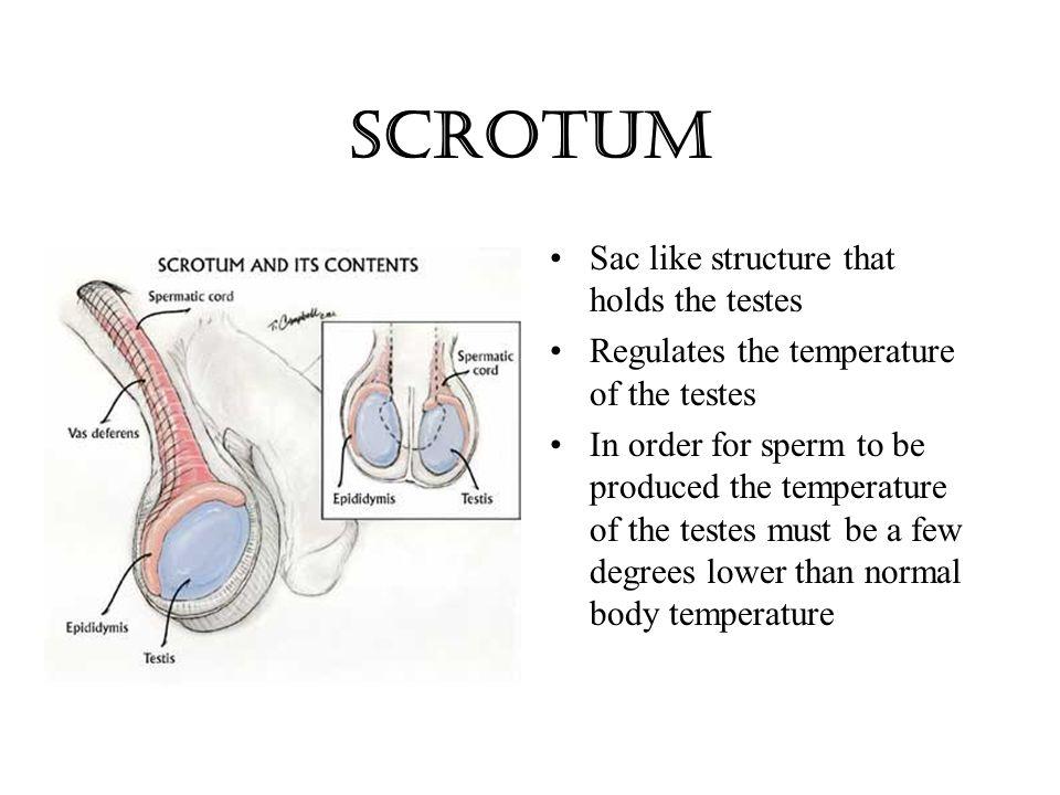 Scrotal Sac Anatomy