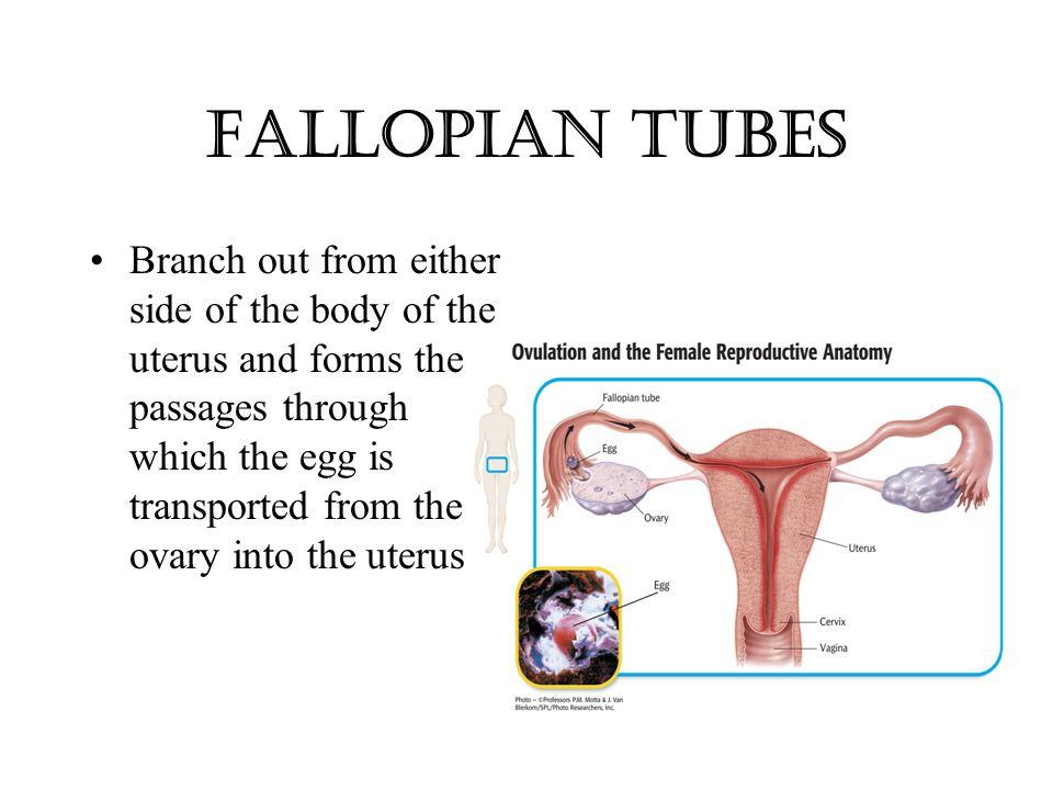 Anatomy of ovary and fallopian tube 7769028 - follow4more.info