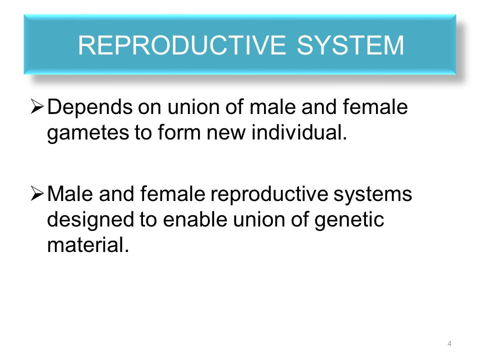 male and female reproductive system essay