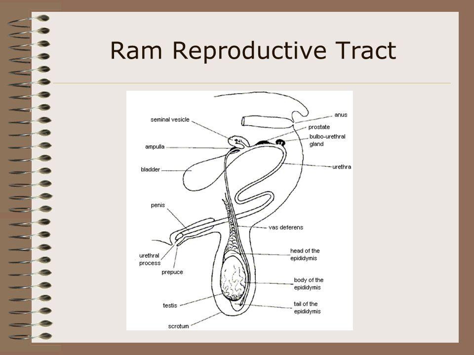 Ram Reproductive System Diagram