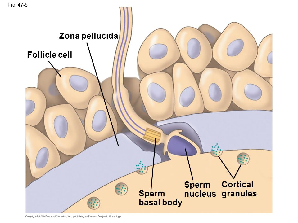 Zona pellucida Follicle cell Sperm nucleus Cortical granules