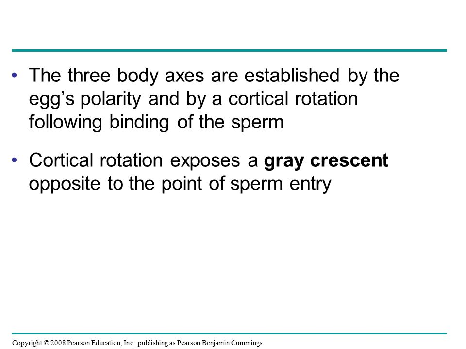 The three body axes are established by the egg's polarity and by a cortical rotation following binding of the sperm