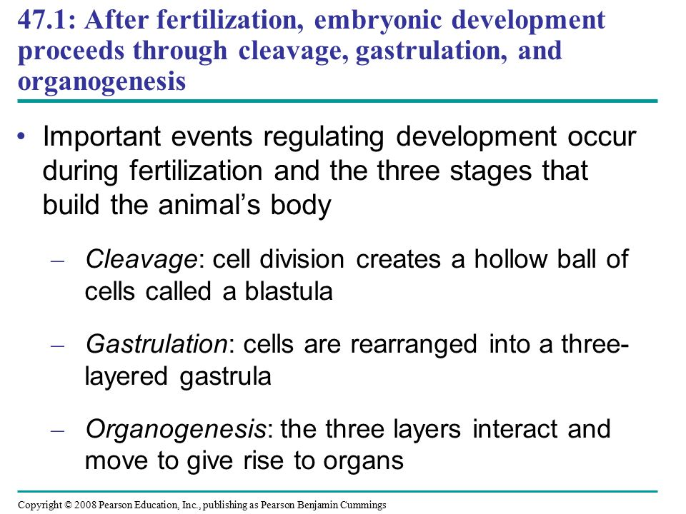 47.1: After fertilization, embryonic development proceeds through cleavage, gastrulation, and organogenesis