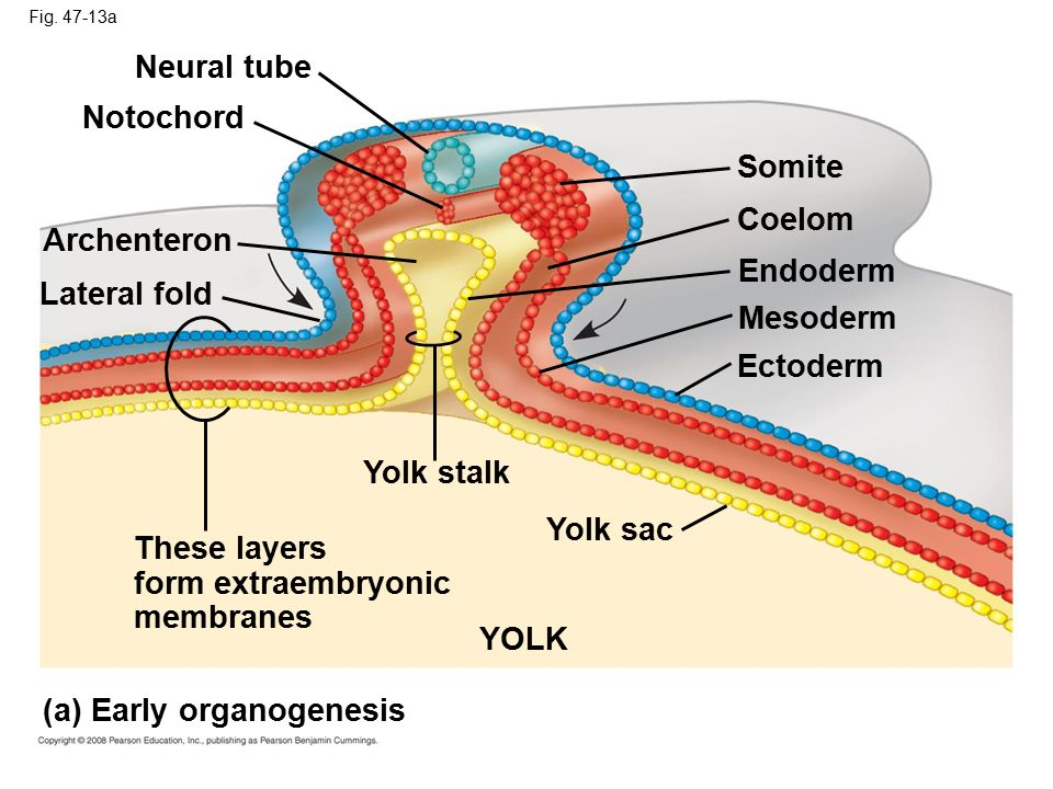 These layers form extraembryonic membranes