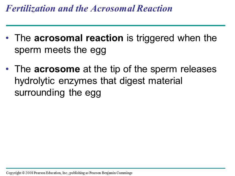 Fertilization and the Acrosomal Reaction