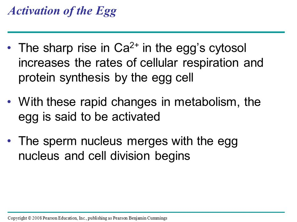 Activation of the Egg The sharp rise in Ca2+ in the egg's cytosol increases the rates of cellular respiration and protein synthesis by the egg cell.