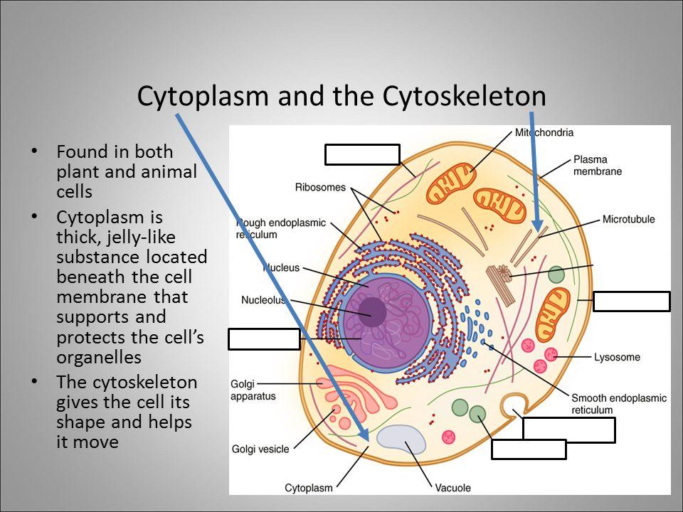 Diagram of cytoskeleton pencil auto wiring diagram today diagram cytoskeleton pencil wire data u2022 rh coffwhee co animal cell diagram cytoskeleton cytoskeleton function ccuart Gallery