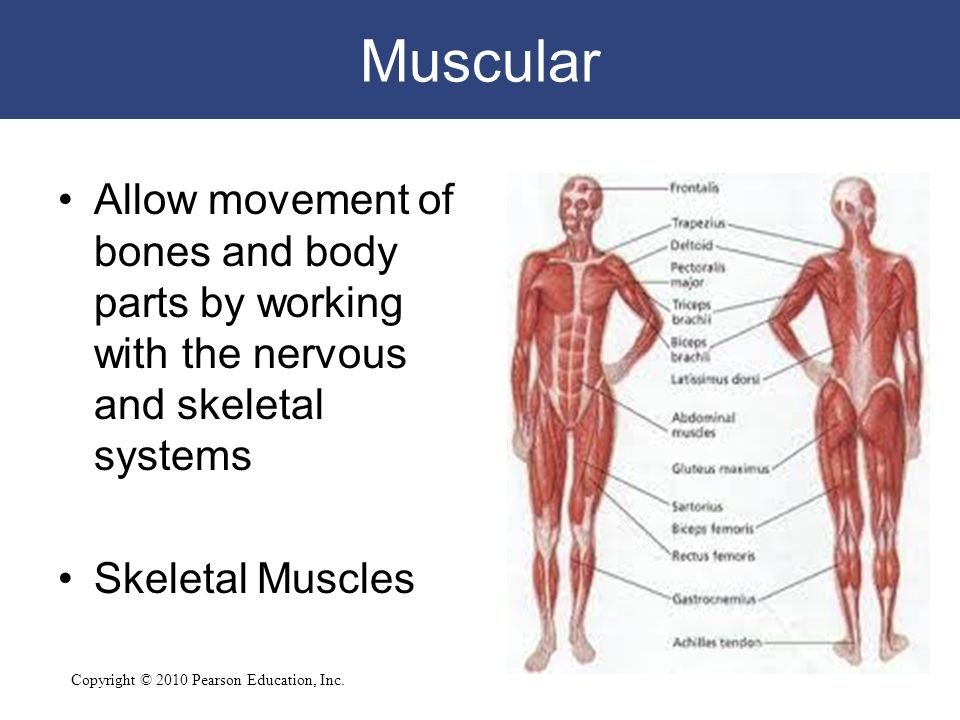 introduction to bones in the body An introduction to the human body 1  271 anatomy and physiology of the male reproductive system  surface of the mandibular body nasal bone.