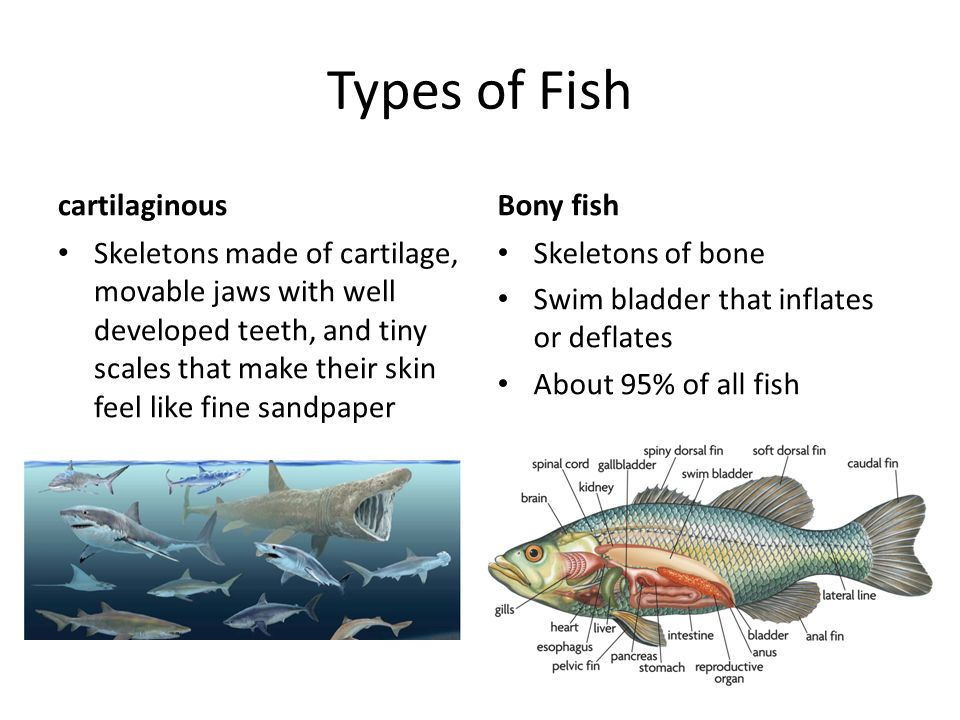 Fish amphibians reptiles ppt video online download for Types of bony fish