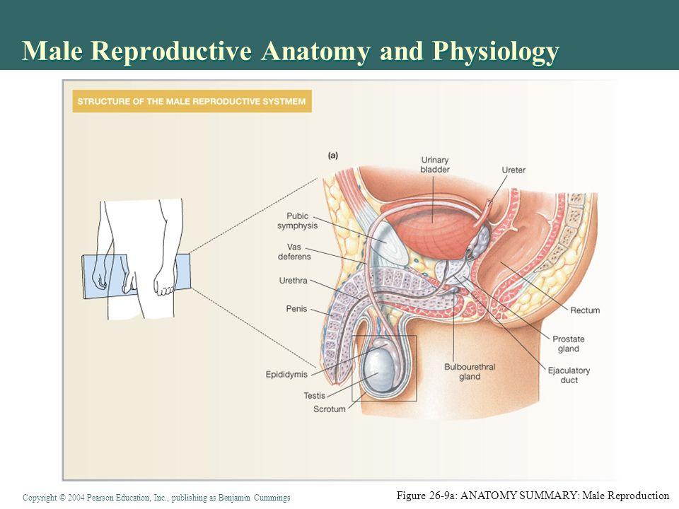 Reproductive Anatomy Amp Physiology In Reptiles Nine Key 306259