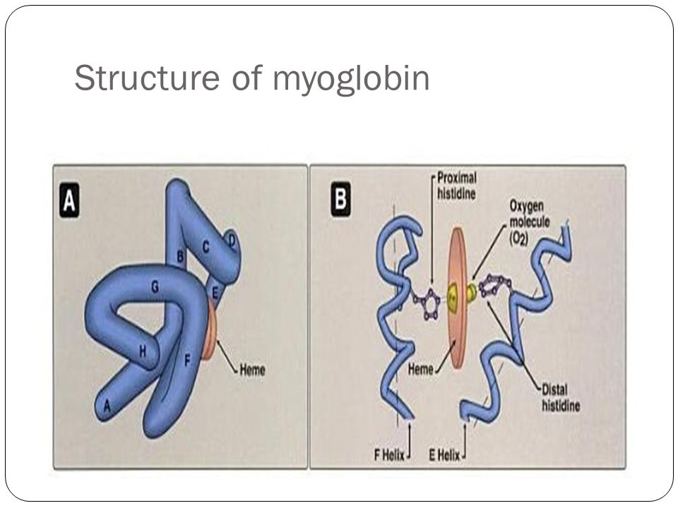 hemoglobin and myoglobin Hemoglobin and myoglobin are widely responsible for oxygen transport and storage (see the perspective by [rezende][1] ) the ability of diving mammals to obtain enough oxygen to support extended dives and foraging is largely dependent on muscle myoglobin (mb) content mirceta et al (p [1234192][2]) found that in mammalian lineages with an.