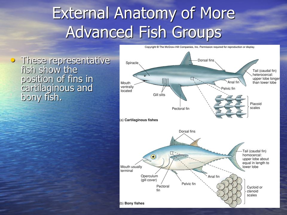 Flying fish anatomy