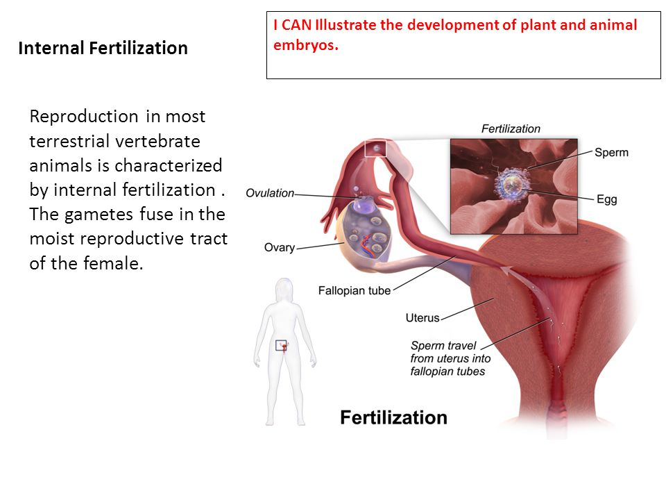 Internal fertilization