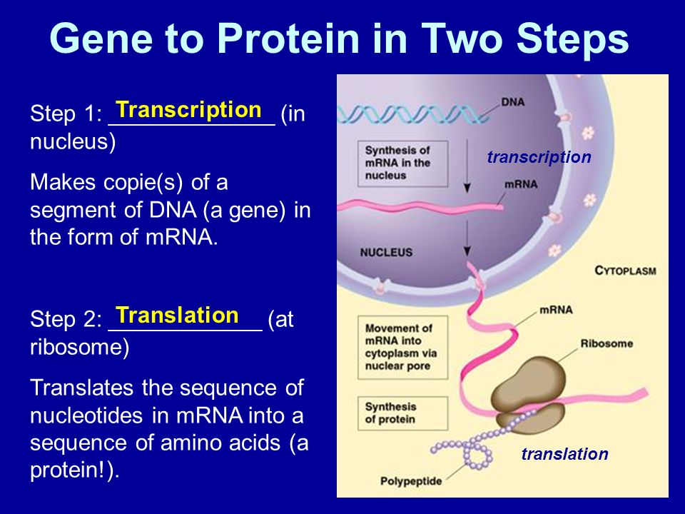 How does DNA work? What is a gene? - ppt download