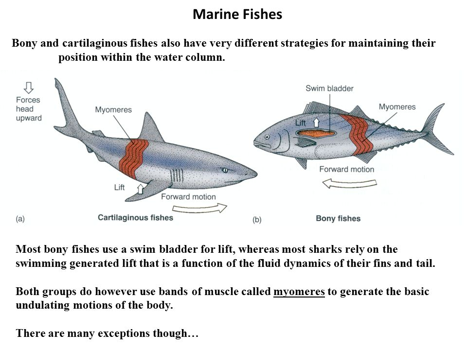 marine fishes class osteichthyes � bony fishes the most
