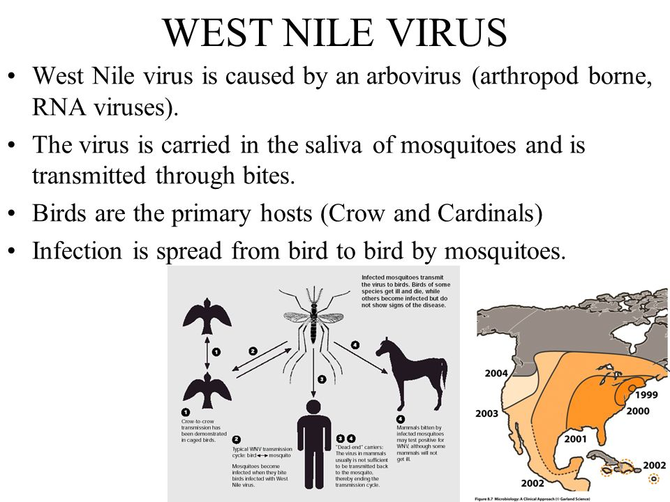 west nile virus Global west nile virus infection treatment market: snapshot west nile virus (wnv) belongs to the flaviviridae family, comprising pestivirus, flavivirus, and hepacivirus.