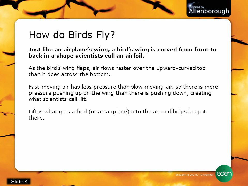 How do Birds Fly Just like an airplane's wing, a bird's wing is curved from front to back in a shape scientists call an airfoil.