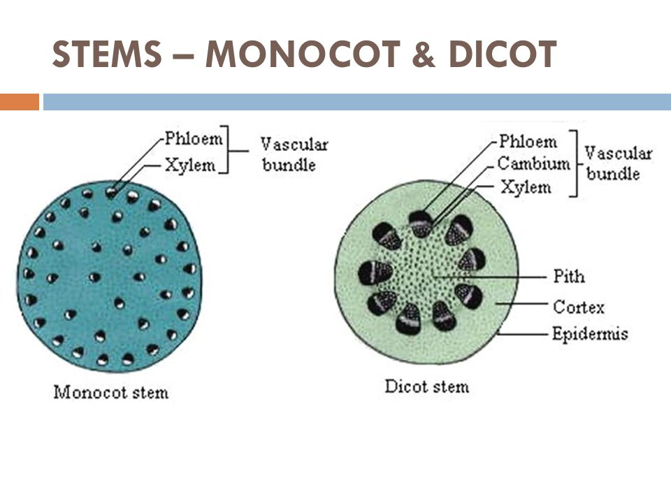 Anatomy of monocot and dicot stem 8507531 - follow4more.info