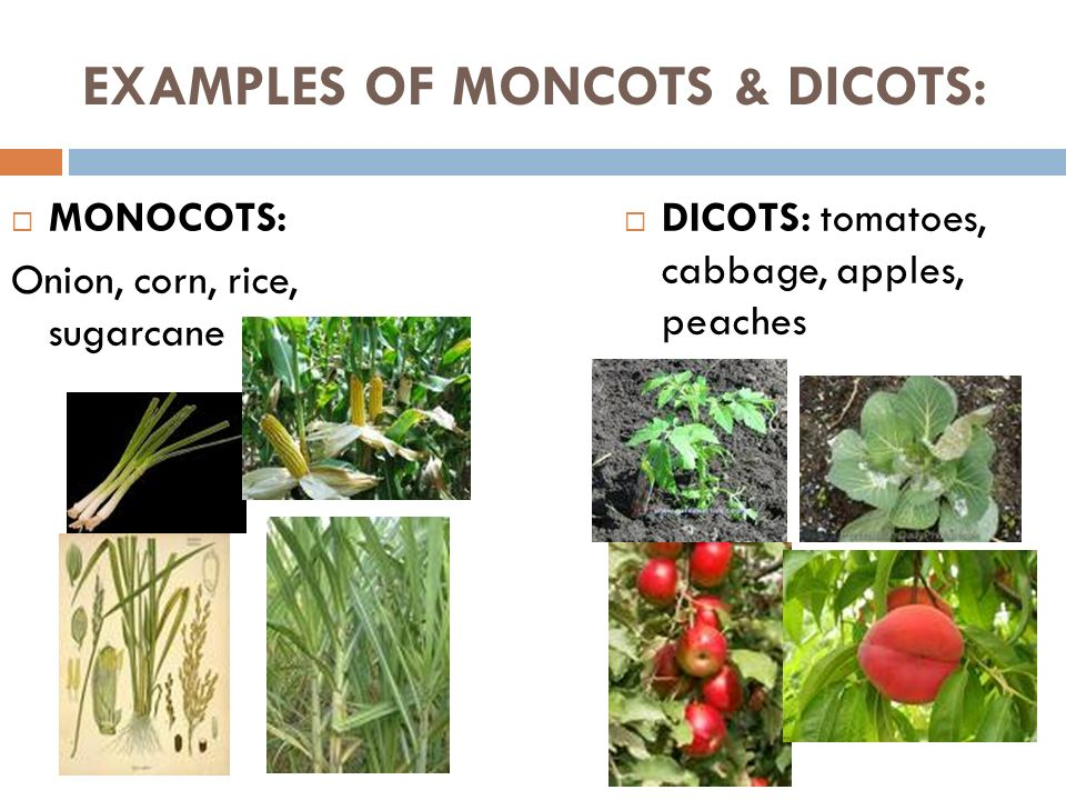 PLANTS – DAY 3 MONOCOT & DICOTS. - ppt video online download 10 Examples Of Monocot Plants