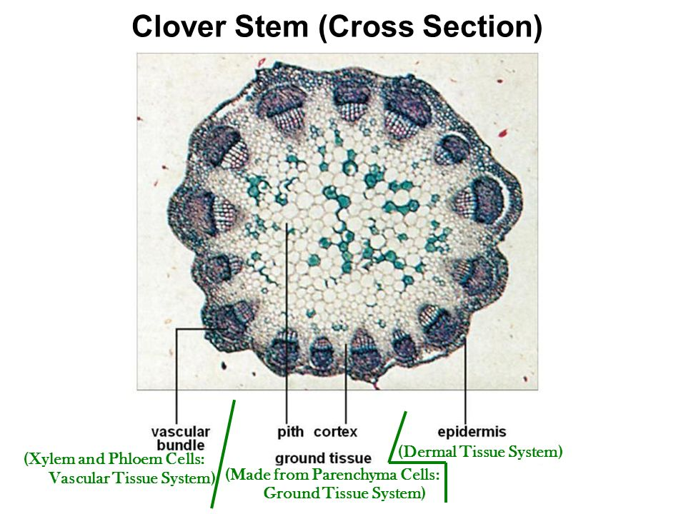 Phloem And Xylem Cross Section
